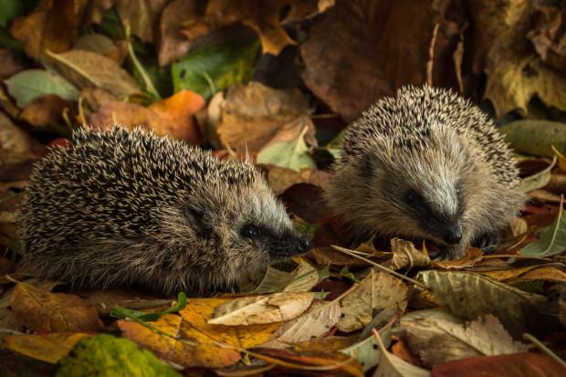 W październiku jeże przygotowują się do snu zimowego.