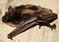 Kazamaty twierdzy są największym na Pomorzu zimowiskiem nietoperzy. Znaleźć tu można m.in. niezwykle rzadki gatunek nocka łydkowłosego.