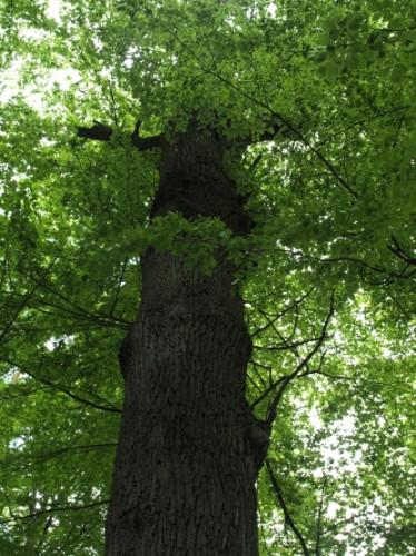 Korona gołębieskiego Dewajtisa sięga prawie 30 metrów wysokości