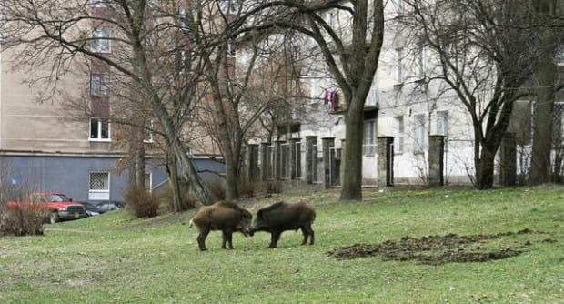 Dziki na podleśnych osiedlach to widok, który nie powinien dziwić mieszkańców Trójmiasta.
