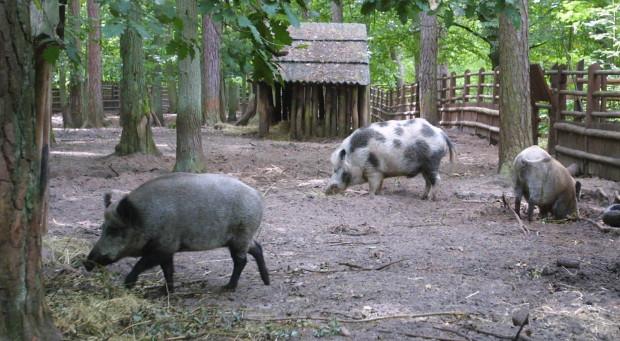 Dziki odłowione w Parku Reagana wywożone będą w Bory Tucholskie i tam wypuszczane. Taka praktyka ma zminimalizować szkody czynione przez te zwierzęta.
