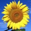 Słonecznik - trójmiejska kwiaciarnia internetowa